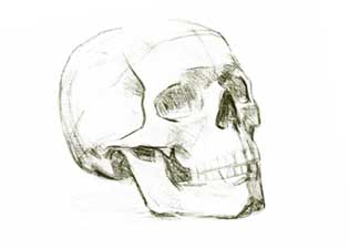 Skull proportions drawing