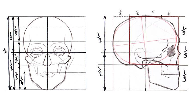 Divisiones horizontales y verticales del craneo humano para su estudio